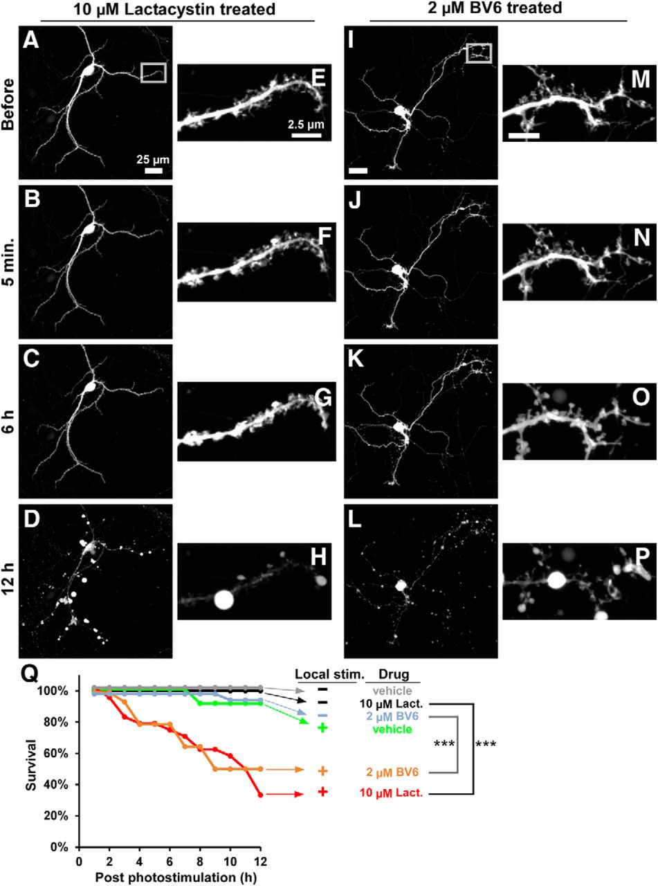 Local Pruning Of Dendrites And Spines By Caspase 3 Dependent Tv Led Mito 17 Download Figure