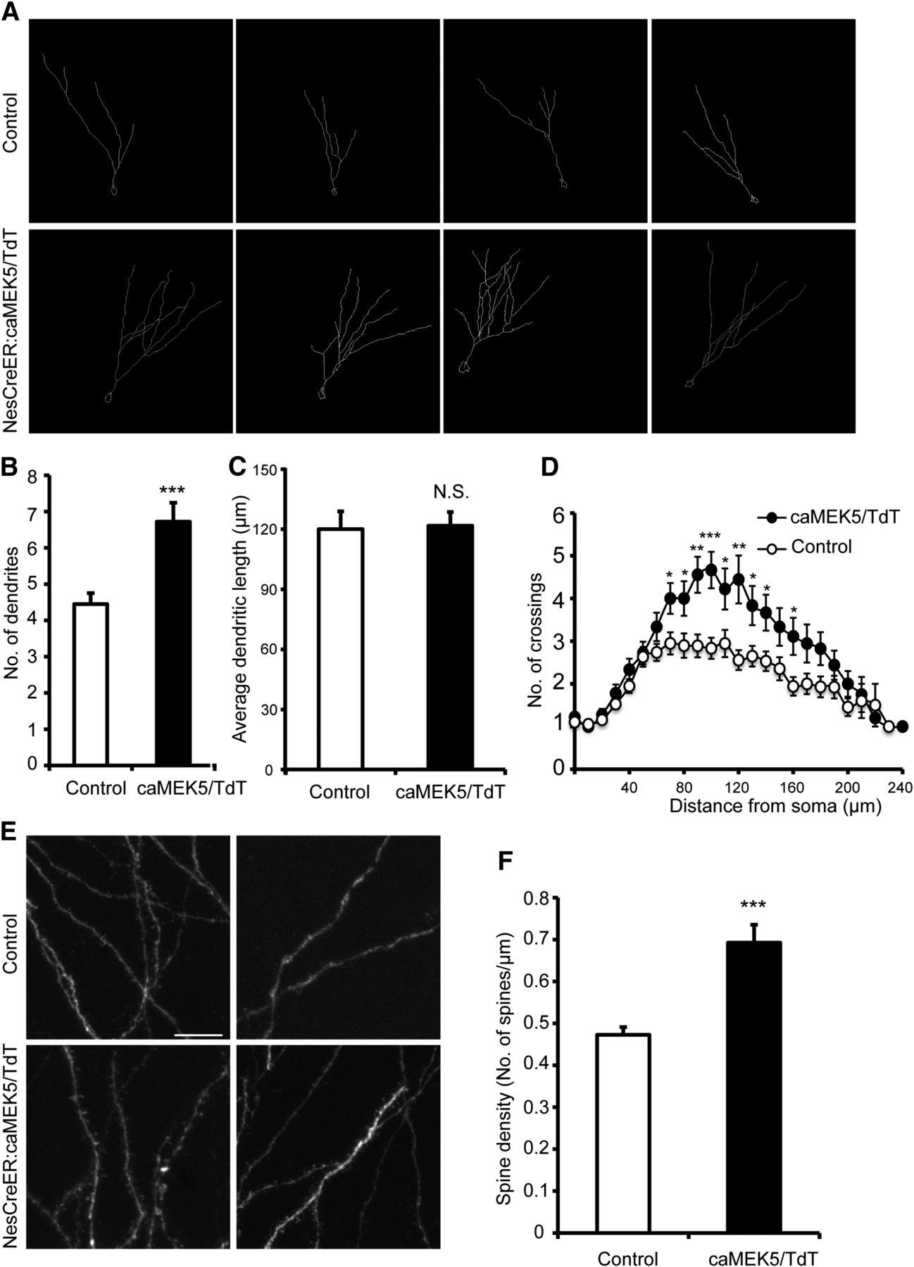 Genetic Activation Of Erk5 Map Kinase Enhances Adult Neurogenesis Alexandre Christie Ac 6444 Mc Silver Black White Download Figure