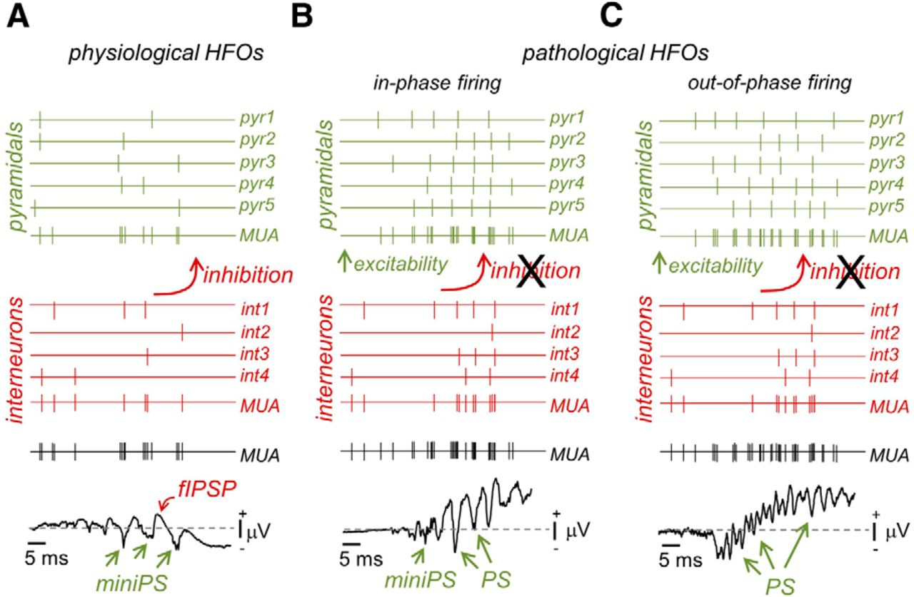 Extracellular Calcium Controls The Expression Of Two Different Forms Circuitlab Phase Shift Delay Download Figure