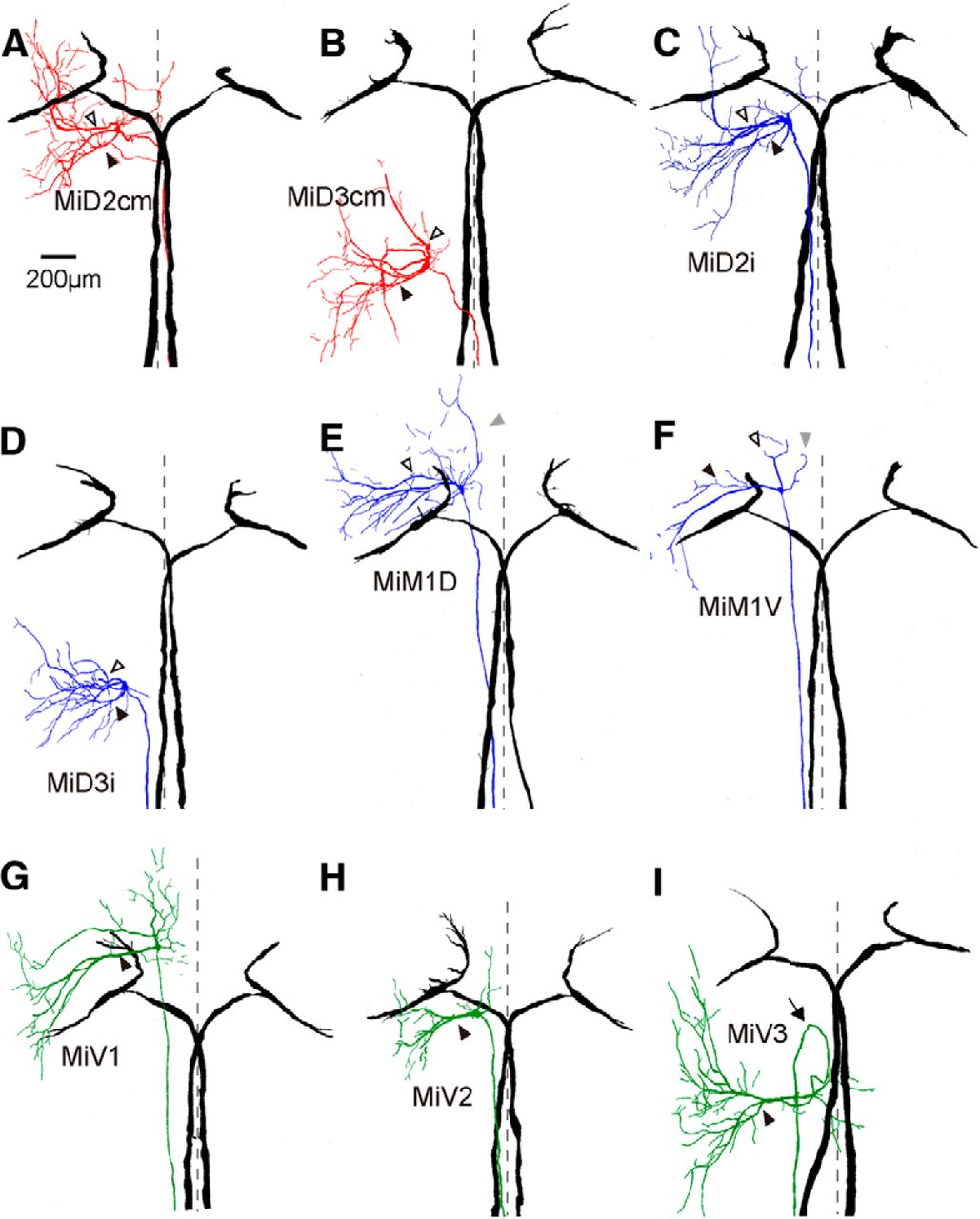 Functional Motifs Composed Of Morphologically Homologous Neurons Camera Diagram Labeled Related Keywords Download Figure