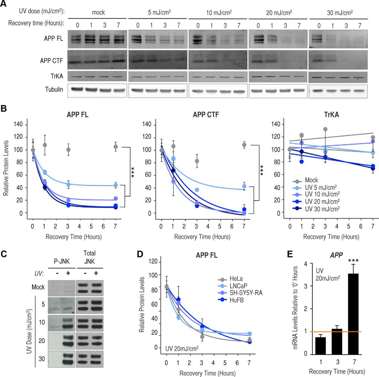UV Irradiation Accelerates Amyloid Precursor Protein (APP