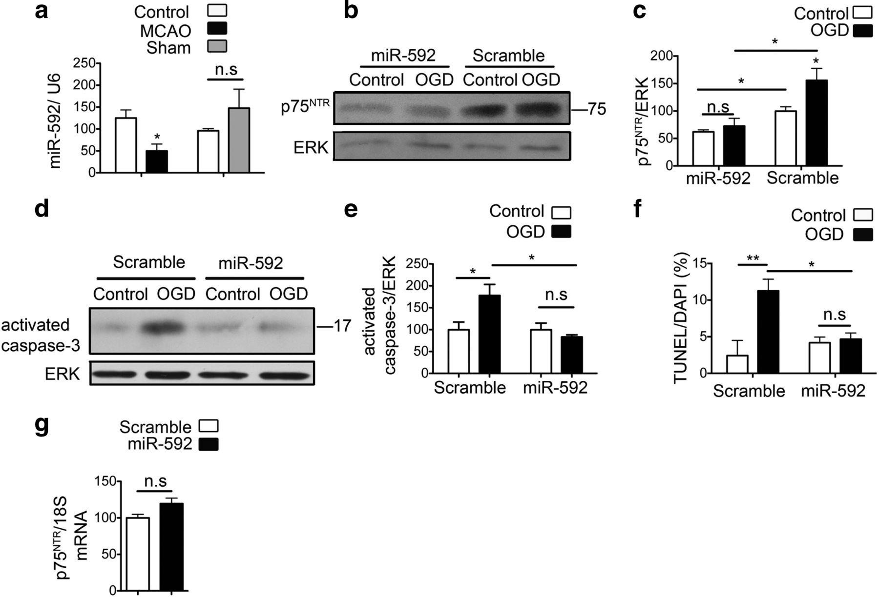 Mir 592 Regulates The Induction And Cell Death Promoting Activity Of