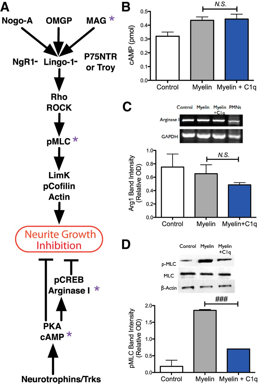 Complement Protein C1q Modulates Neurite Outgrowth In