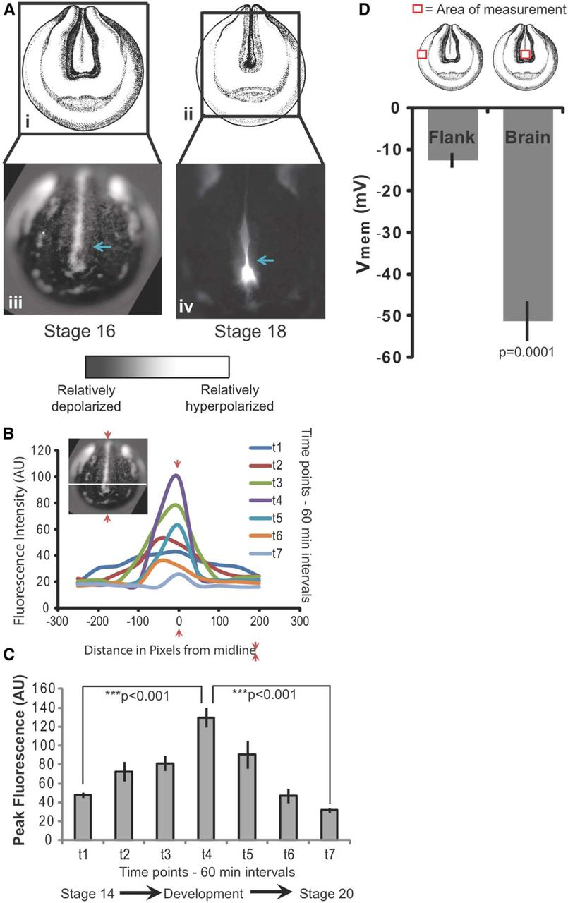 Endogenous Grants of Resting Potential Instructively Pattern ... on