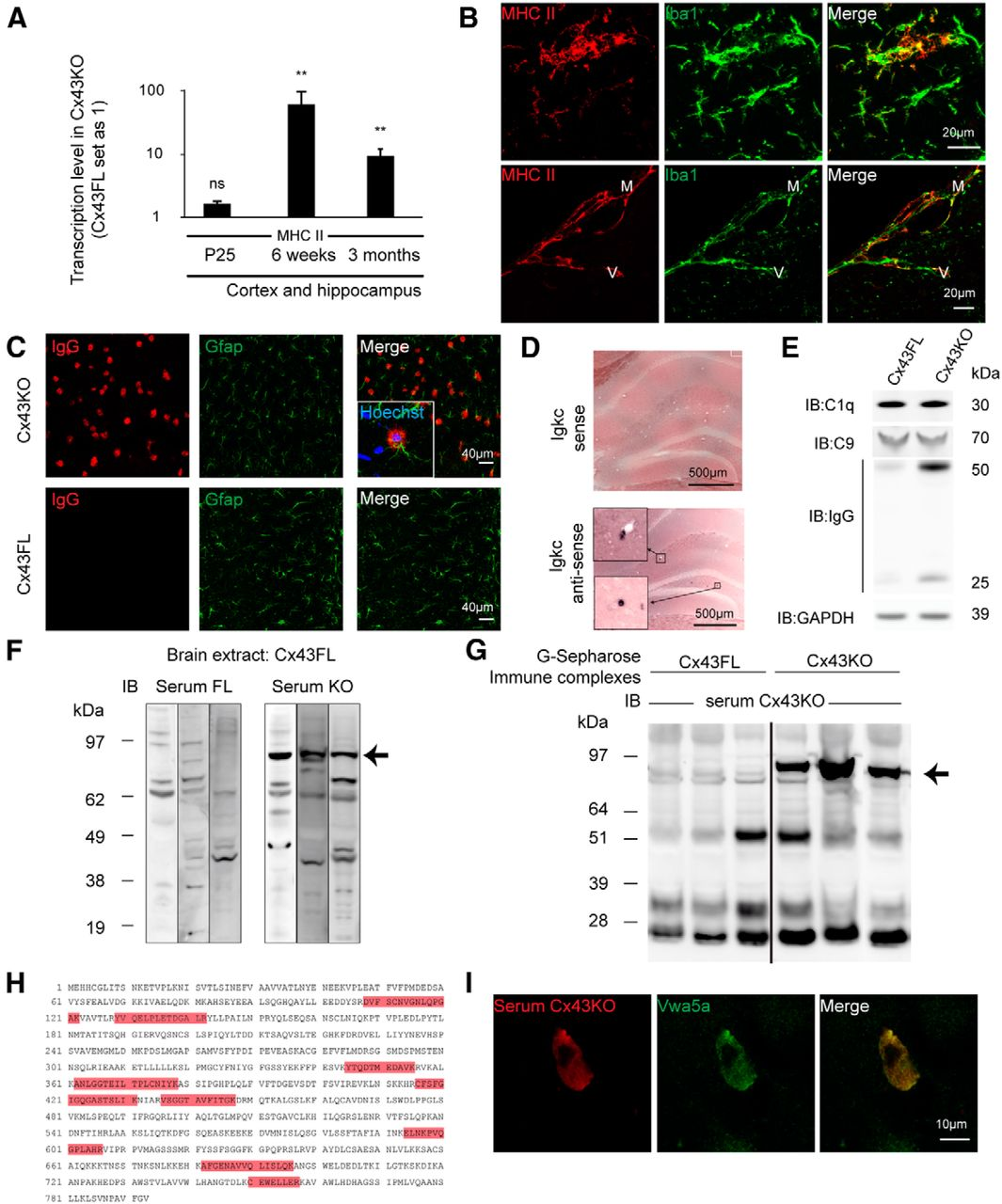Immune Quiescence Of The Brain Is Set By Astroglial Connexin 43 Animal Cell Diagram Labeled Downloads 661 Recommended 13 Download Figure Open In New Tab Powerpoint