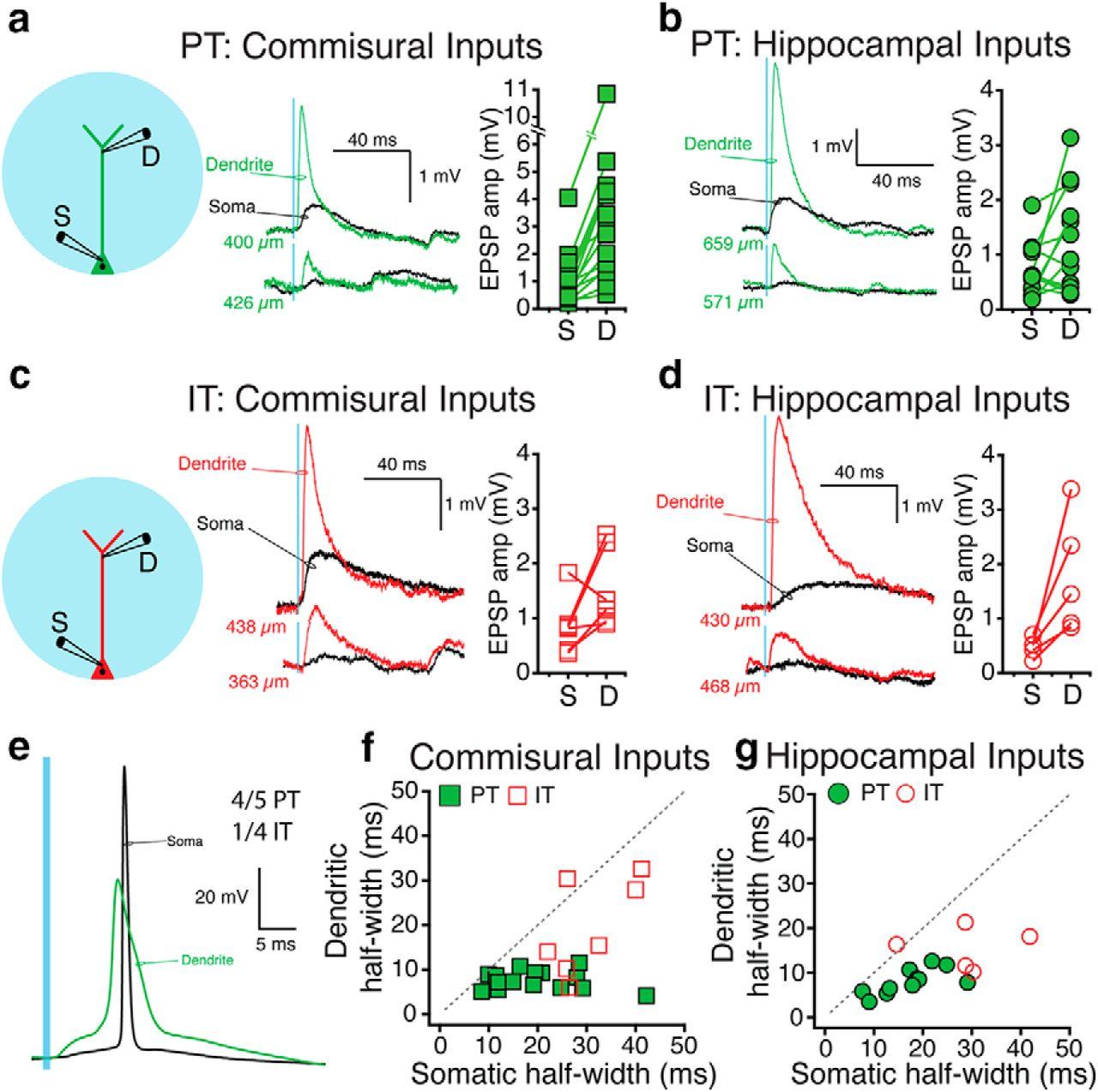 Temporal Dynamics of L5 Dendrites in Medial Prefrontal Cortex