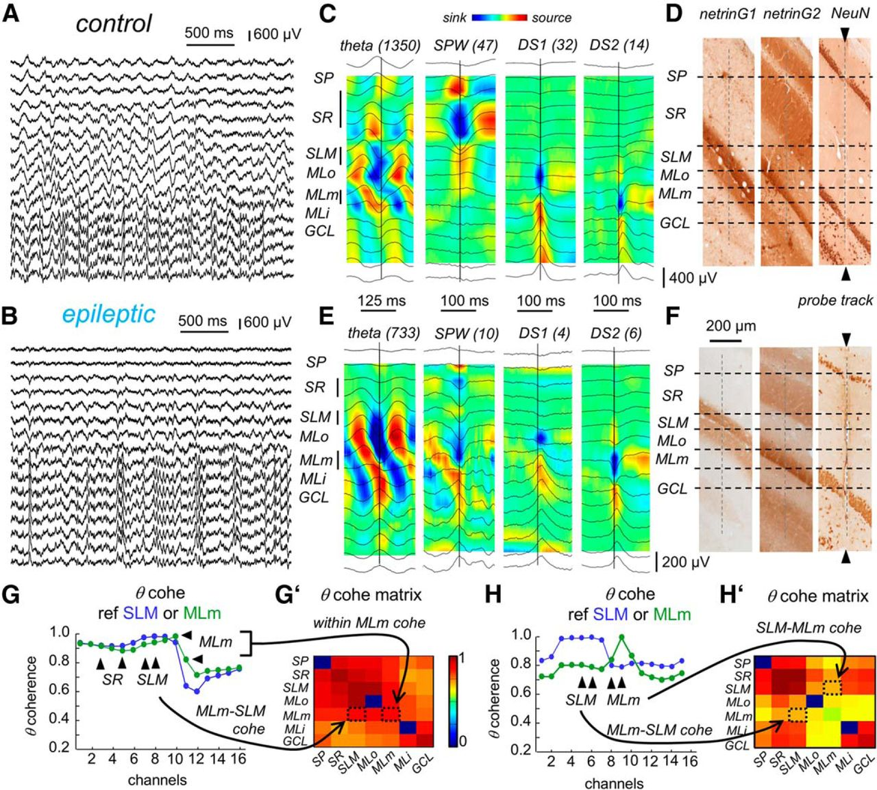 Proximodistal Structure of Theta Coordination in the Dorsal