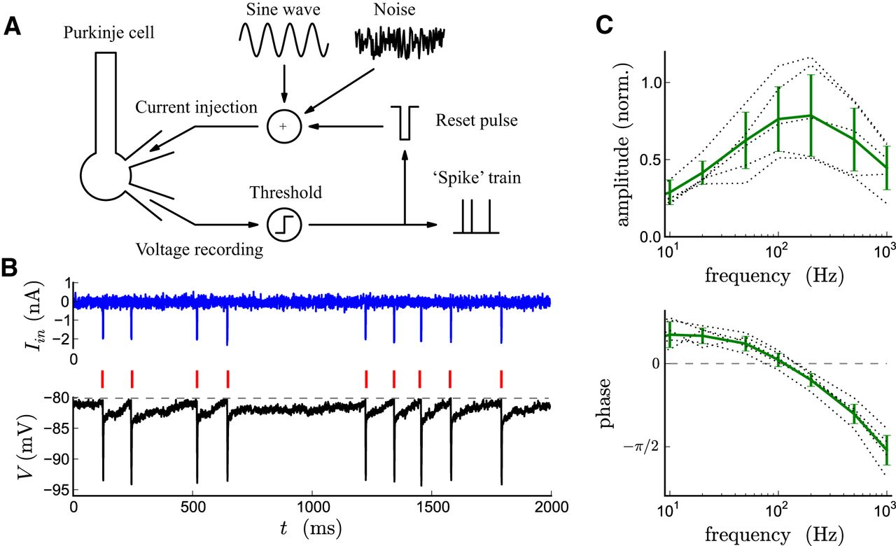Neuronal Morphology Generates High-Frequency Firing Resonance