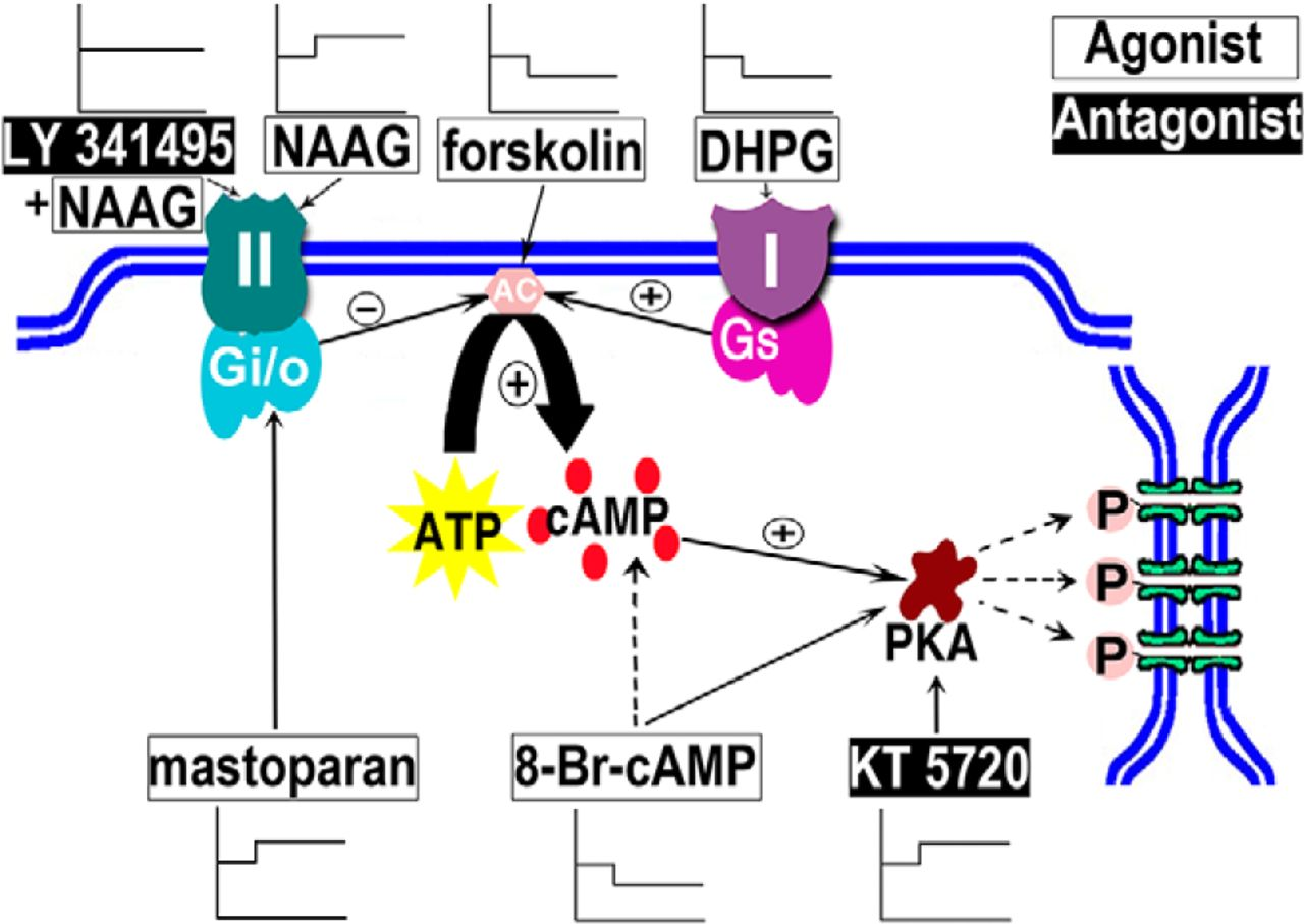 Kt 3 Way Switch Wiring Diagram Variations Diagrams Images Gallery Activation Of Group I And Ii Metabotropic Glutamate Receptors Rh Jneurosci Org