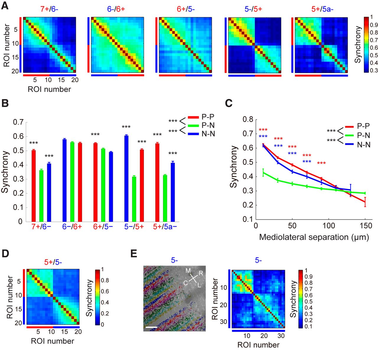 Structurefunction Relationships Between Aldolase C Zebrin Ii Figure 2 Basic Structure Of The Neuronal Circuitry In Cerebellum Download