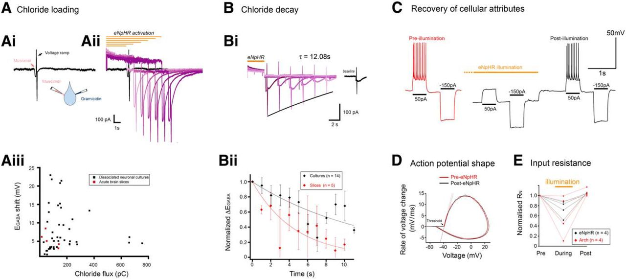 The Contribution Of Raised Intraneuronal Chloride To Epileptic