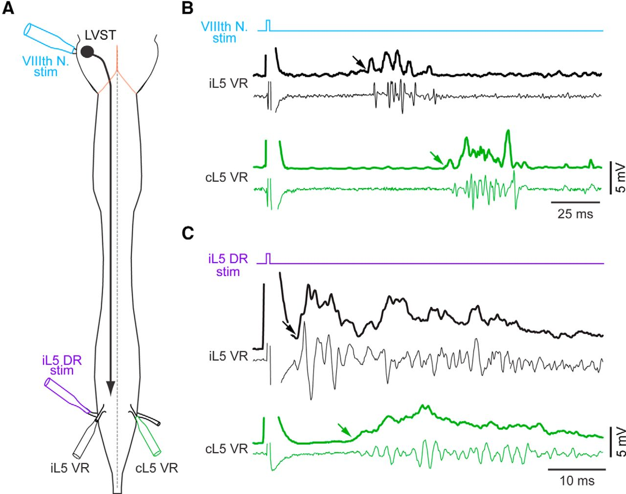 Segmental organization of vestibulospinal inputs to spinal download figure open in new tab download powerpoint figure 1 lvst mediated compound action potentials ccuart Choice Image