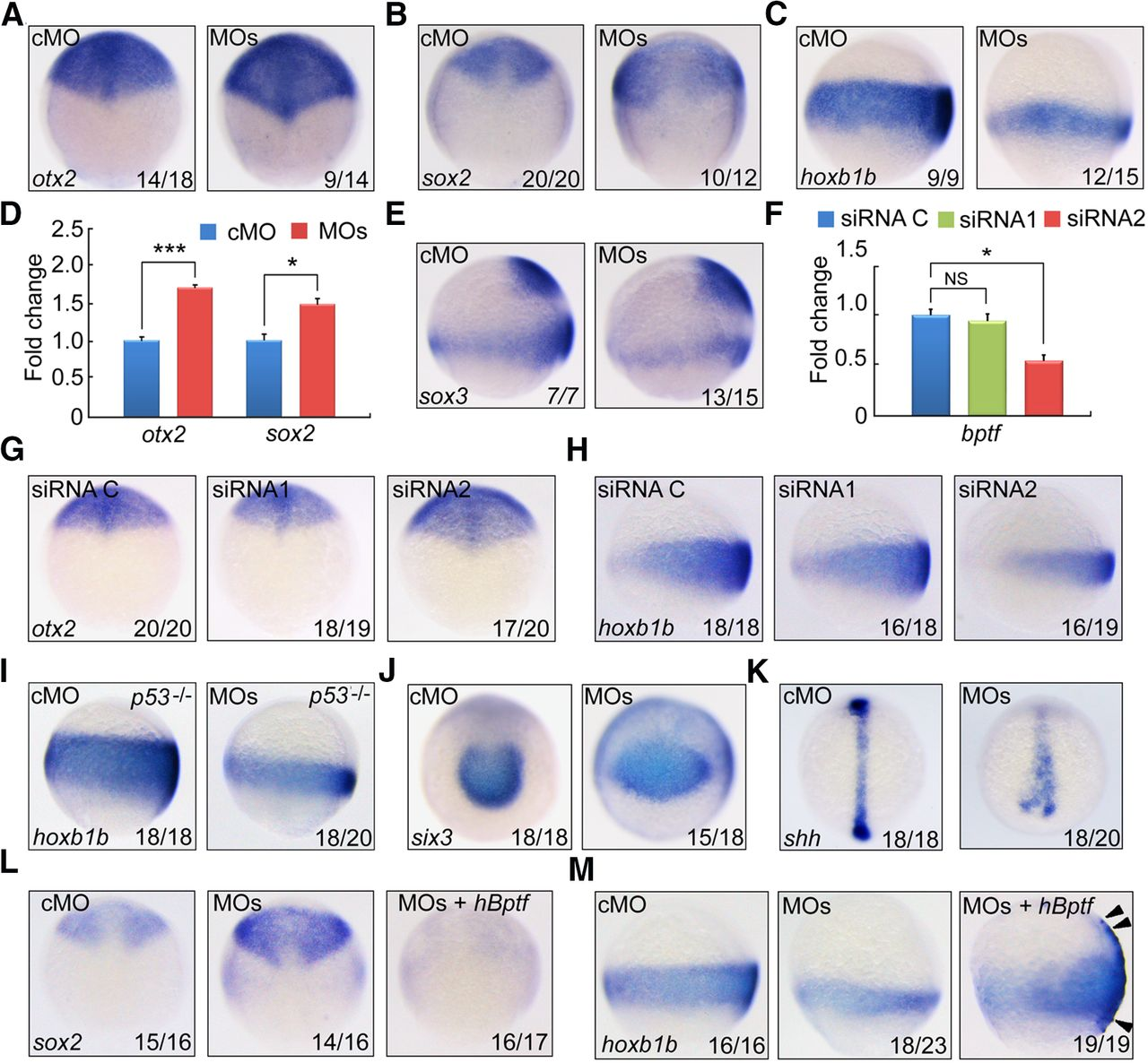 The Chromatin Remodeling Protein Bptf Promotes Posterior Meanwhile In 14th Subcircuit A Second Vacancy Has Recently Download Figure