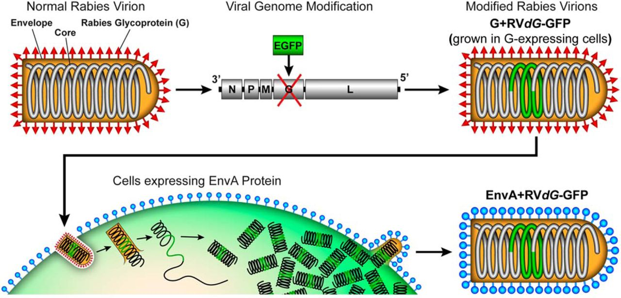 Monosynaptic Circuit Tracing with Glycoprotein-Deleted