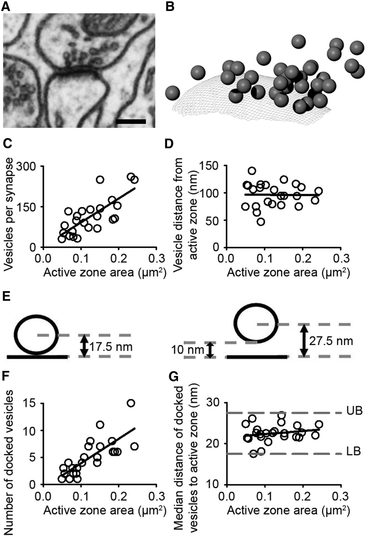 delayed and temporally imprecise neurotransmission in reorganizing cortical microcircuits
