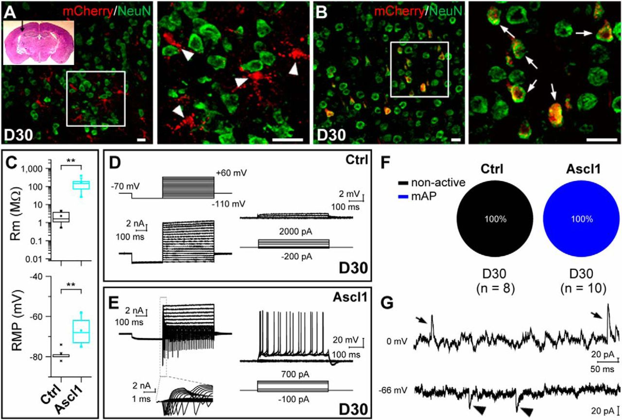 Ascl1 Converts Dorsal Midbrain Astrocytes into Functional