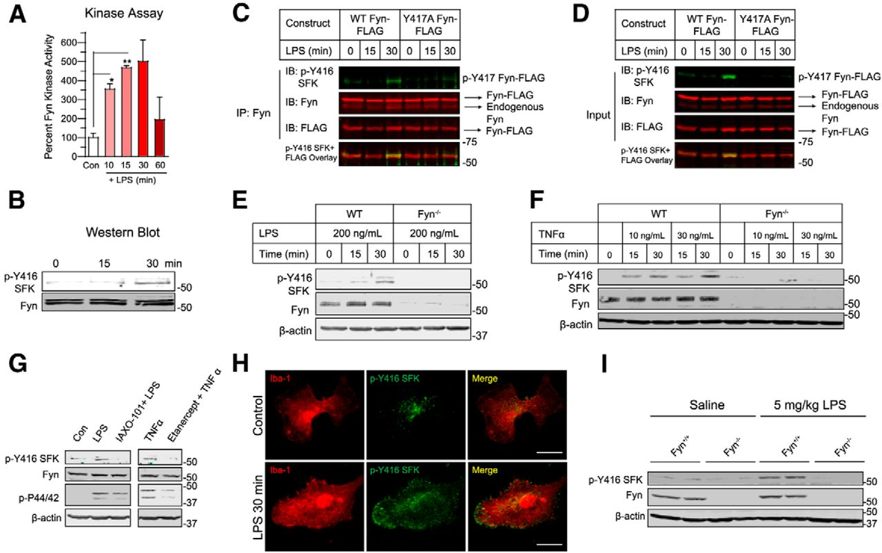 Fyn Kinase Regulates Microglial Neuroinflammatory Responses in Cell