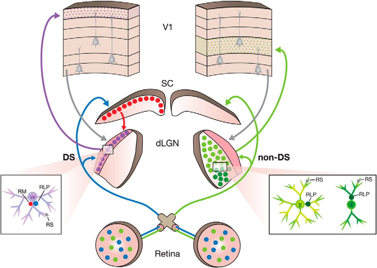 Retinal And Tectal Driver Like Inputs Converge In The Shell Of Neural Circuits Retina I Rhb Download Figure