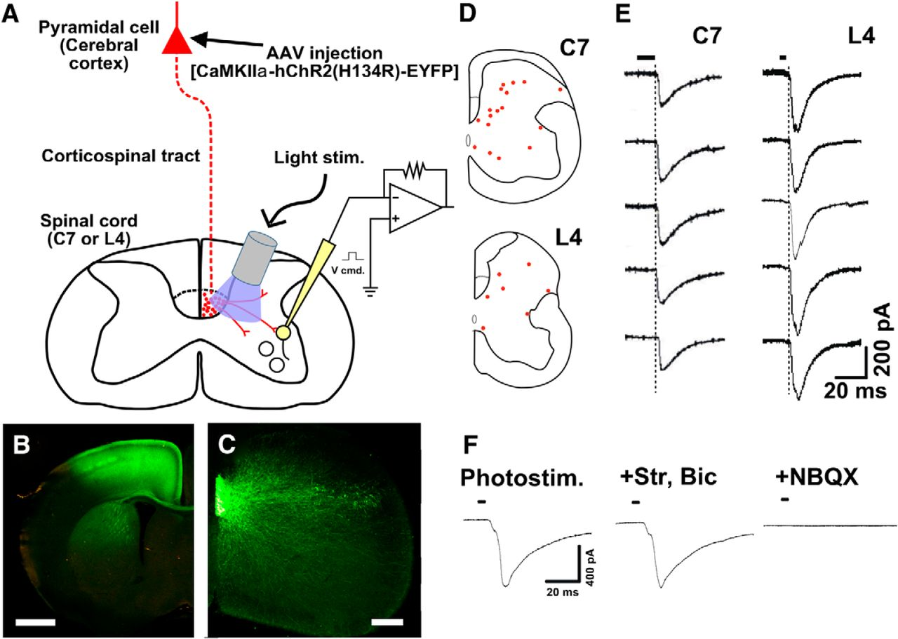 Corticospinal Tract Development and Spinal Cord Innervation Differ ...