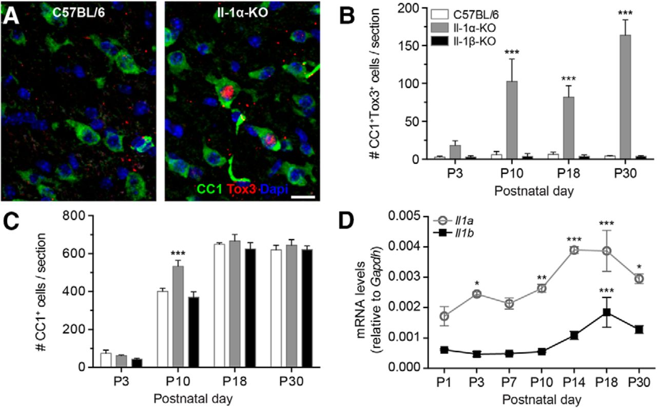 IL-1α Gene Deletion Protects Oligodendrocytes after Spinal