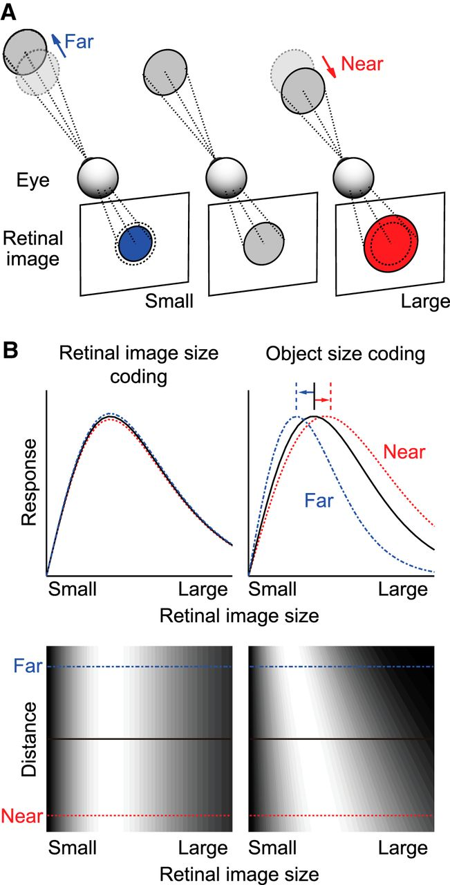 Computation of Object Size in Visual Cortical Area V4 as a