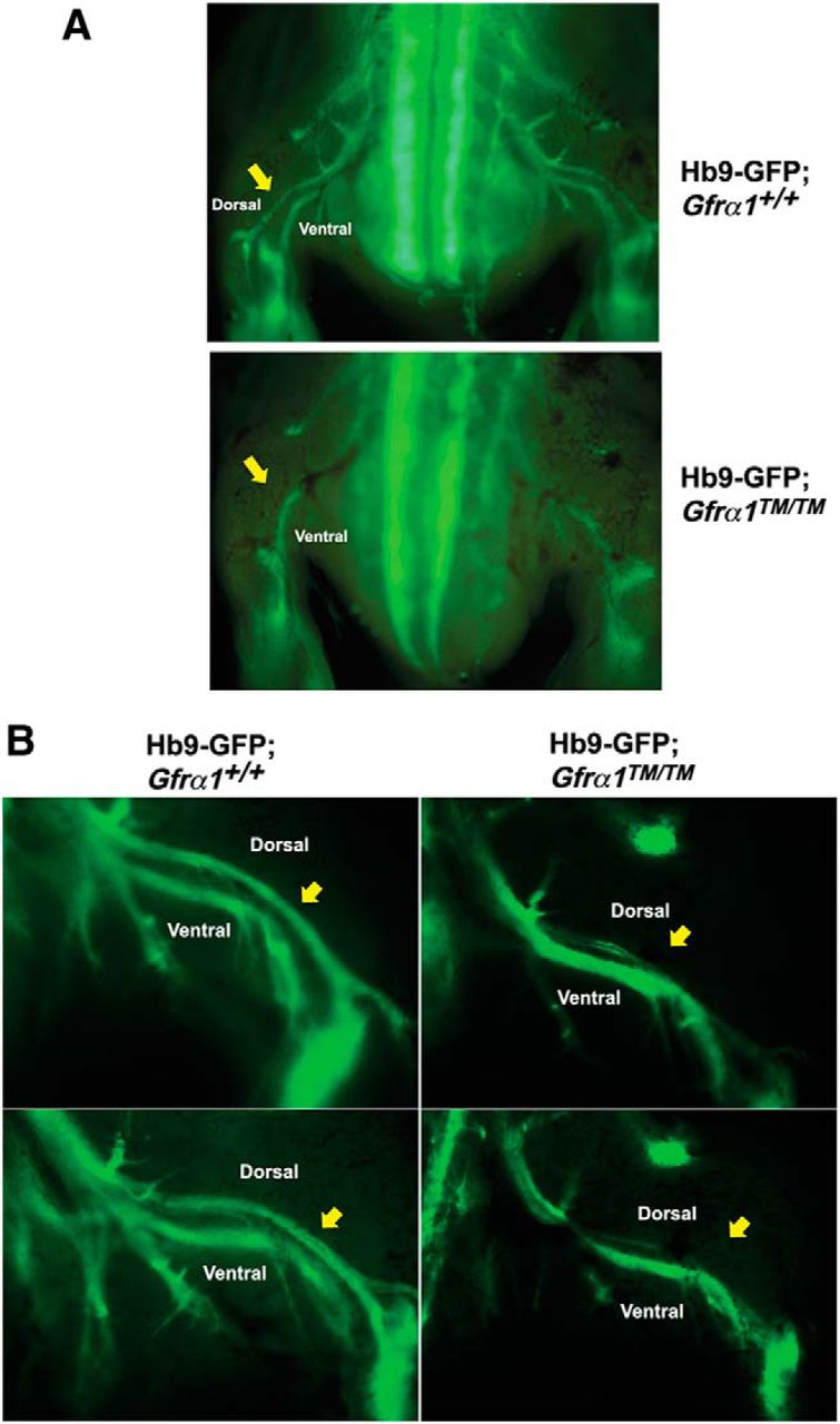 lipid rafts are physiologic membrane microdomains necessary for the