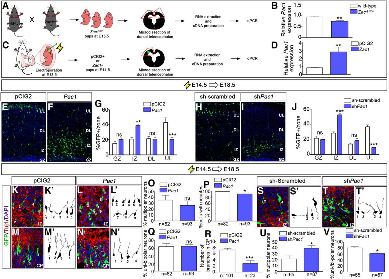 Neocortical Migration The Zac1 Of And Differentiation Regulates