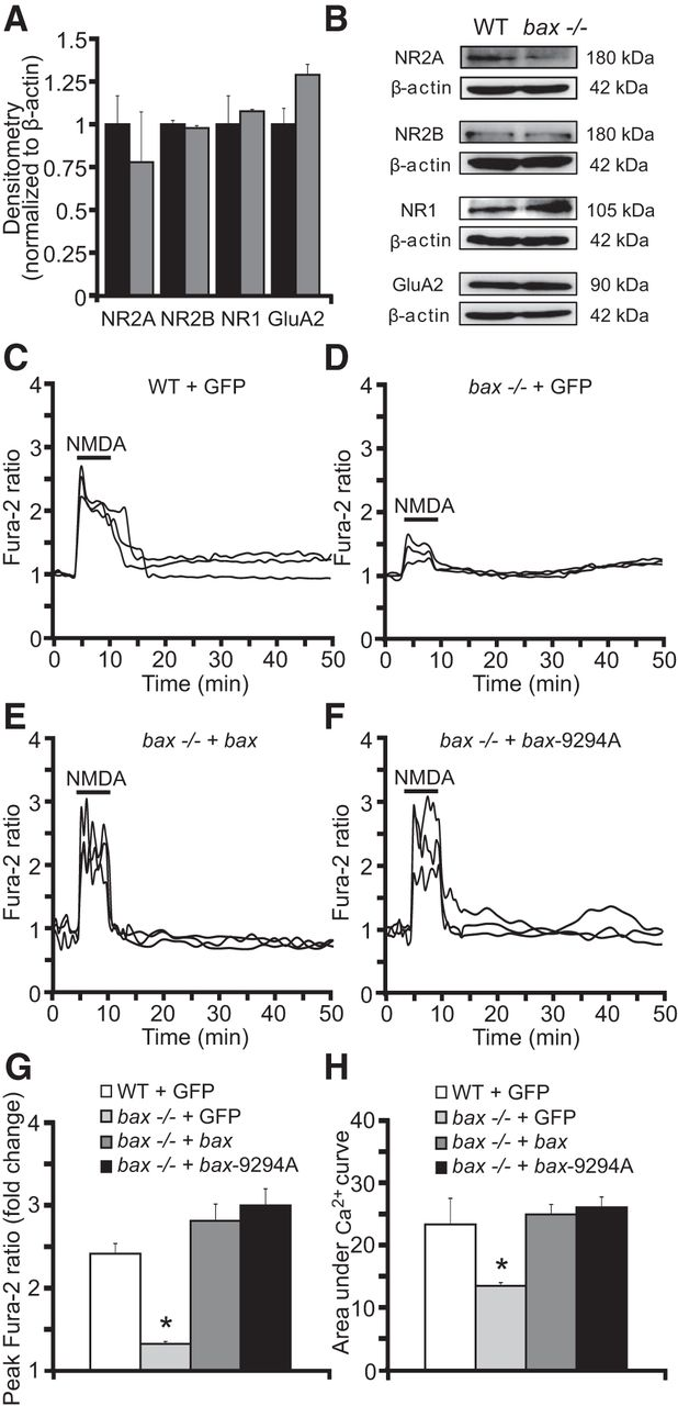 Bax Regulates Neuronal Ca2+ Homeostasis | Journal of