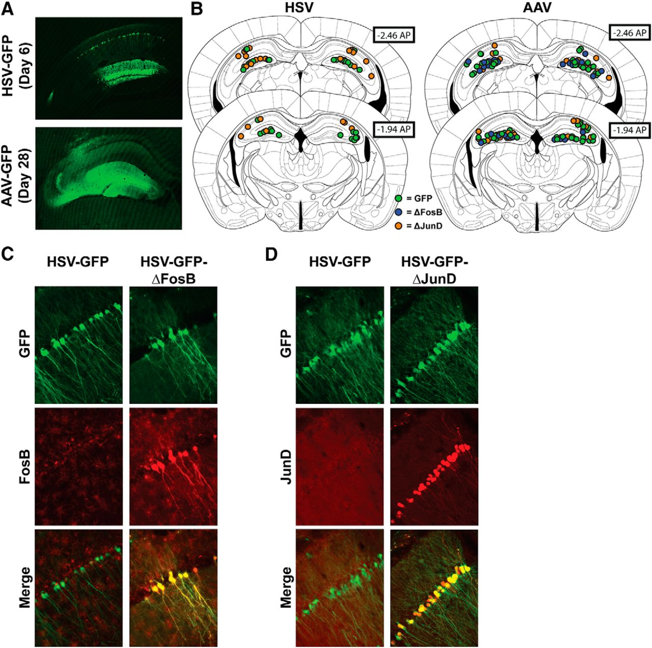 Experience-Dependent Induction of Hippocampal ΔFosB Controls ...