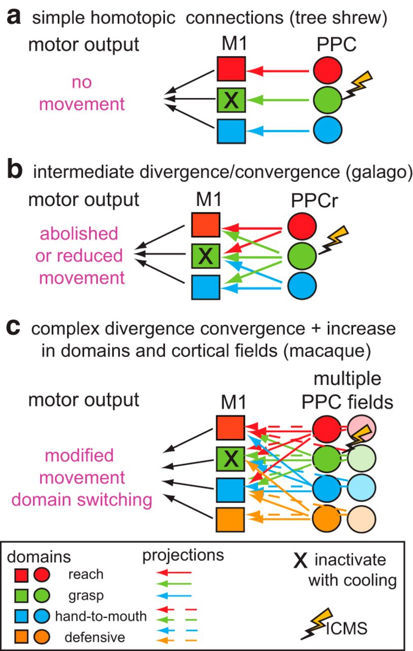 Reversible Deactivation Of Motor Cortex Reveals Functional Design Engine Create Complex Embedded Designs With Circuit Tree Download Figure