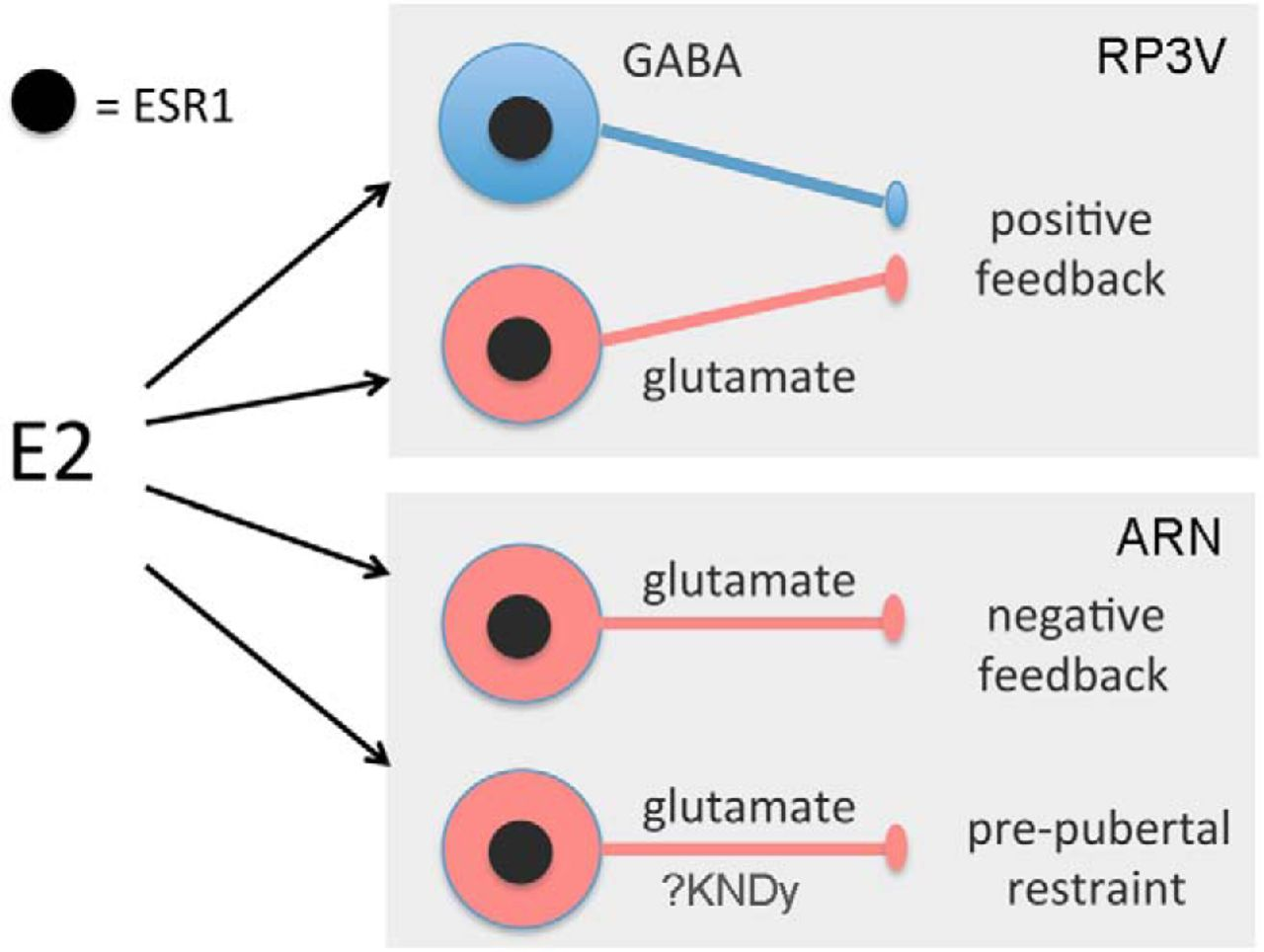 Expression Of Esr1 In Glutamatergic And Gabaergic Neurons Is Negative Feedback Schematic Download Figure