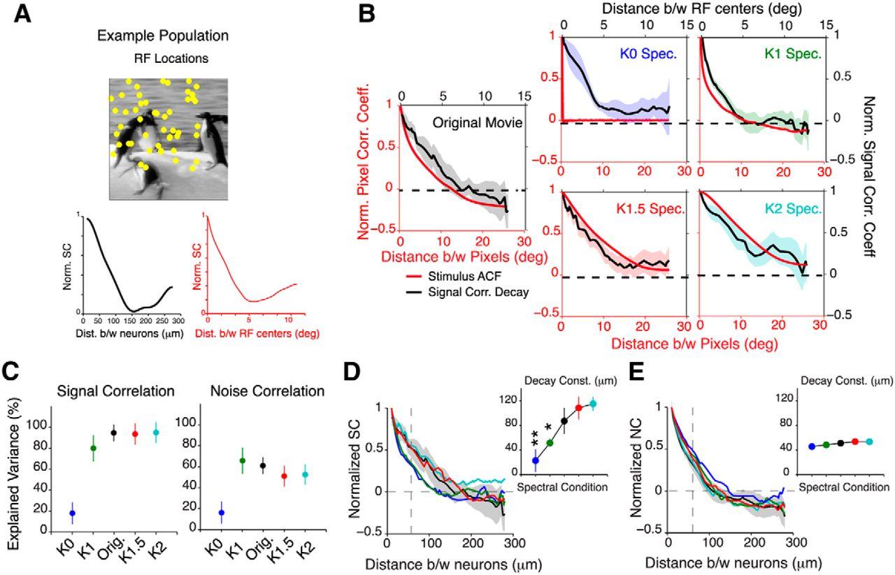Spatial Correlations in Natural Scenes Modulate Response