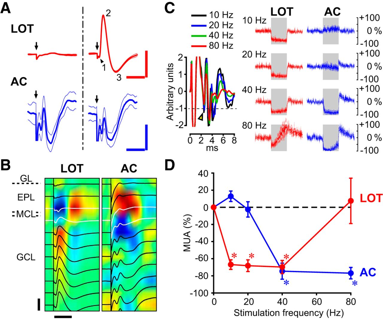 Layer Specific Fmri Responses To Excitatory And Inhibitory Neuronal Go Back Gt Gallery For Printed Circuit Board Download Figure