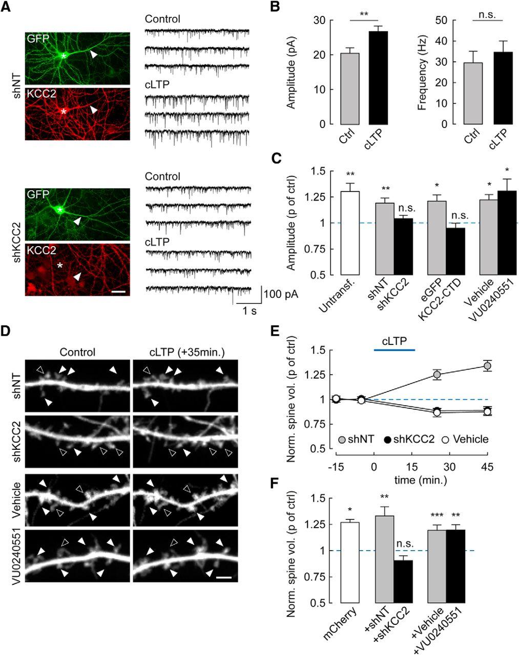 KCC2 Gates Activity-Driven AMPA Receptor Traffic through Cofilin