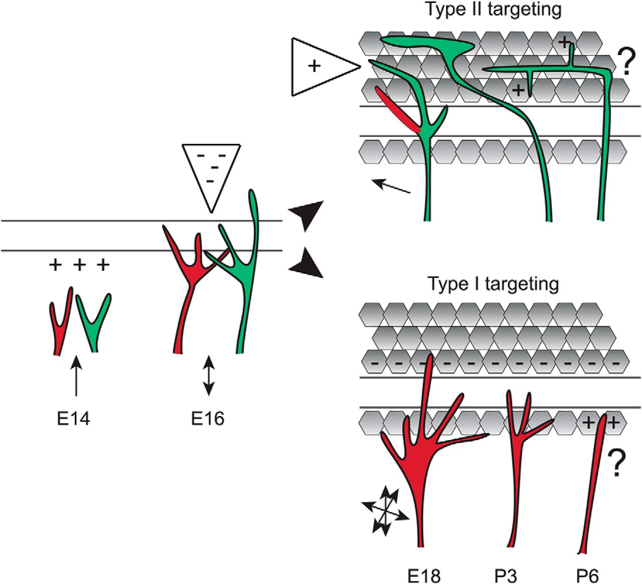 Sequential Retraction Segregates SGN Processes during Target ...