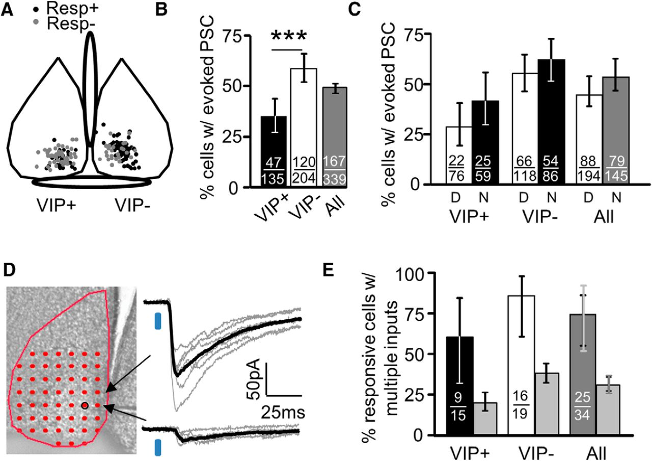 Vasoactive Intestinal Polypeptide Vip Expressing Neurons In The Clifford 5 806x Wiring Diagram Download Figure