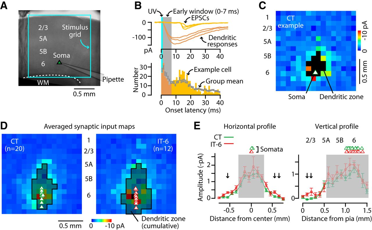 Synaptic Circuit Organization Of Motor Corticothalamic Neurons In Figure 2 Well Than The First Download Open New Tab