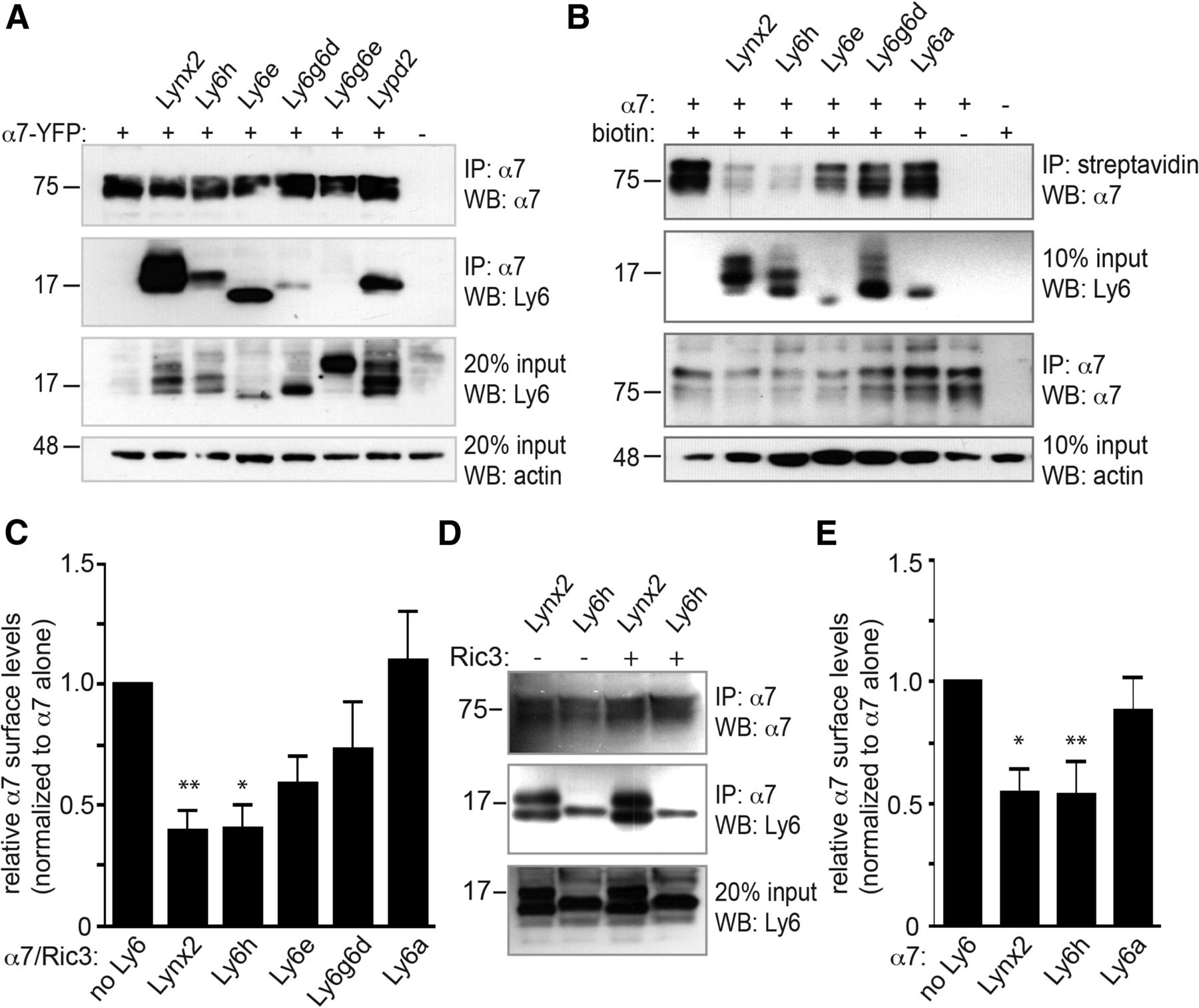 Ly6h Regulates Trafficking of Alpha7 Nicotinic Acetylcholine ...