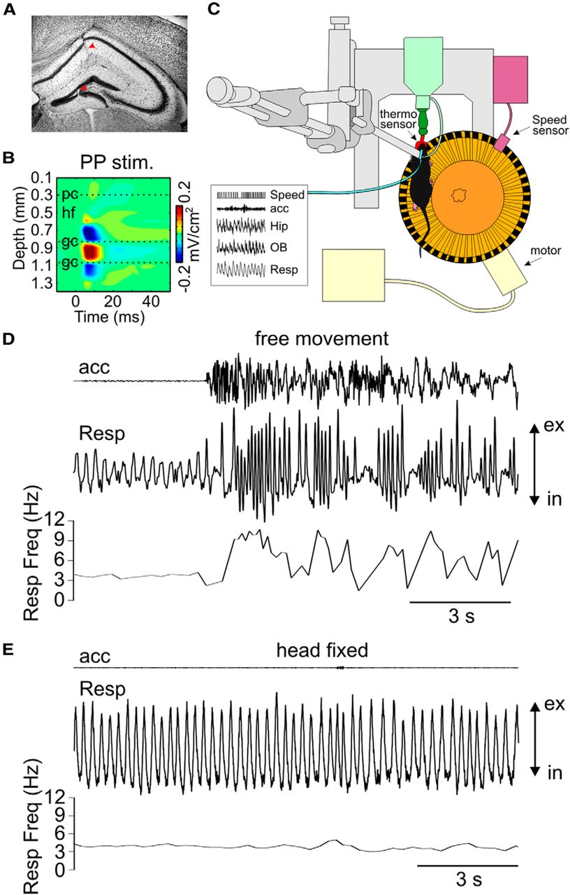 Hippocampal Respiration Driven Rhythm Distinct From Theta