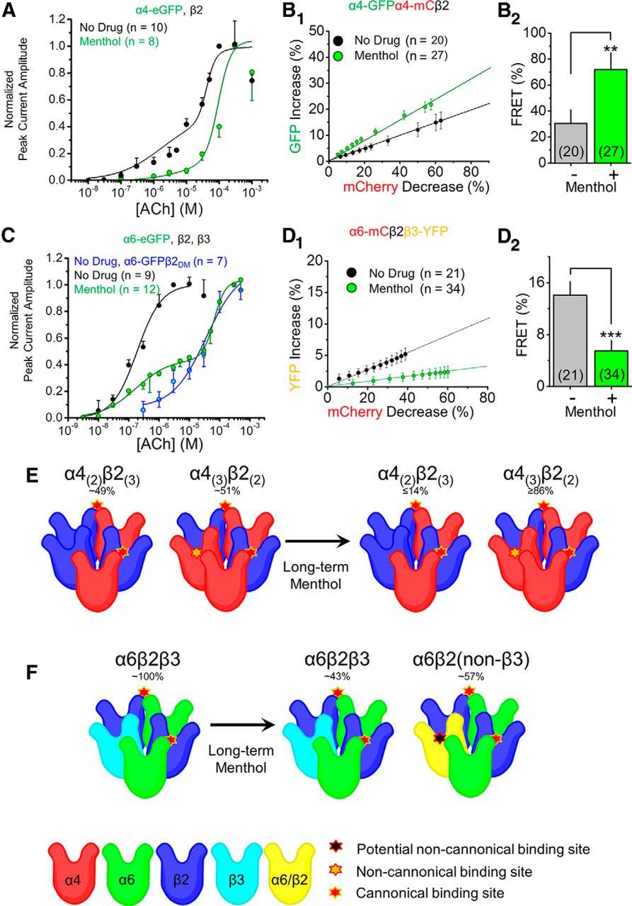 Menthol Alone Upregulates Midbrain nAChRs, Alters nAChR