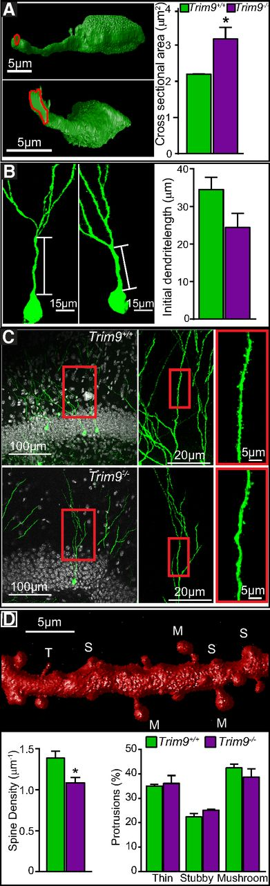 Trim9 Deletion Alters the Morphogenesis of Developing and