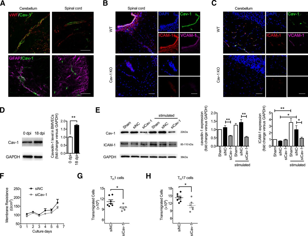 Caveolin-1 Is Critical for Lymphocyte Trafficking into