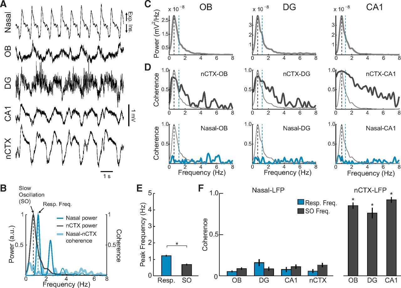 A Respiration Coupled Rhythm In The Rat Hippocampus Independent Of