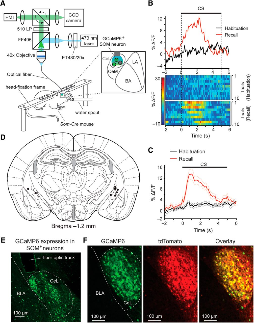 Central Amygdala Somatostatin Neurons Gate Passive And Active U2014 Lights Fiber On Wiring Your Home For Optic Download Figure