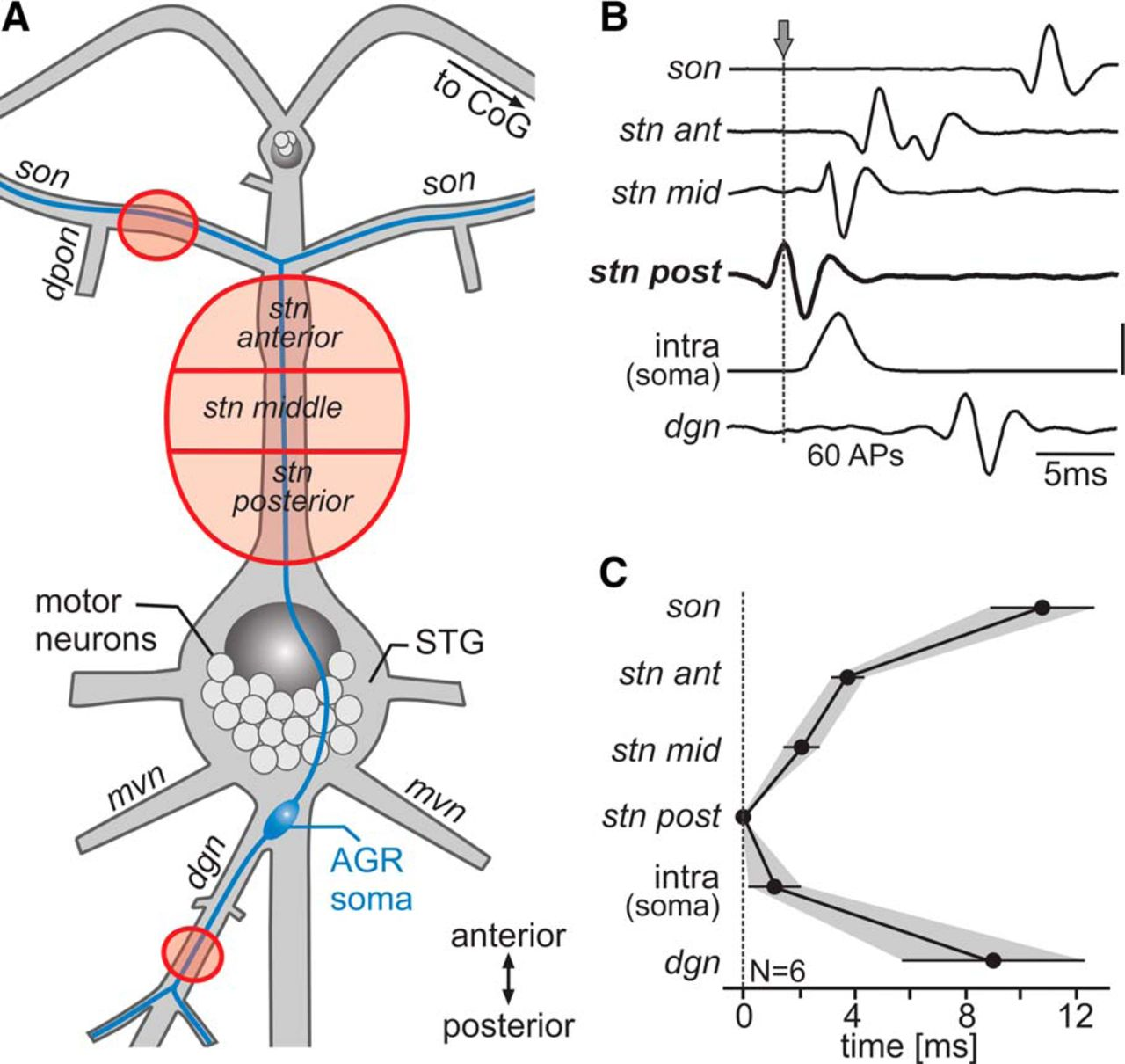 The Site Of Spontaneous Ectopic Spike Initiation Facilitates Signal Wire Size Chart In Addition Baldwin Organ Lifier Schematics On 200 Download Figure