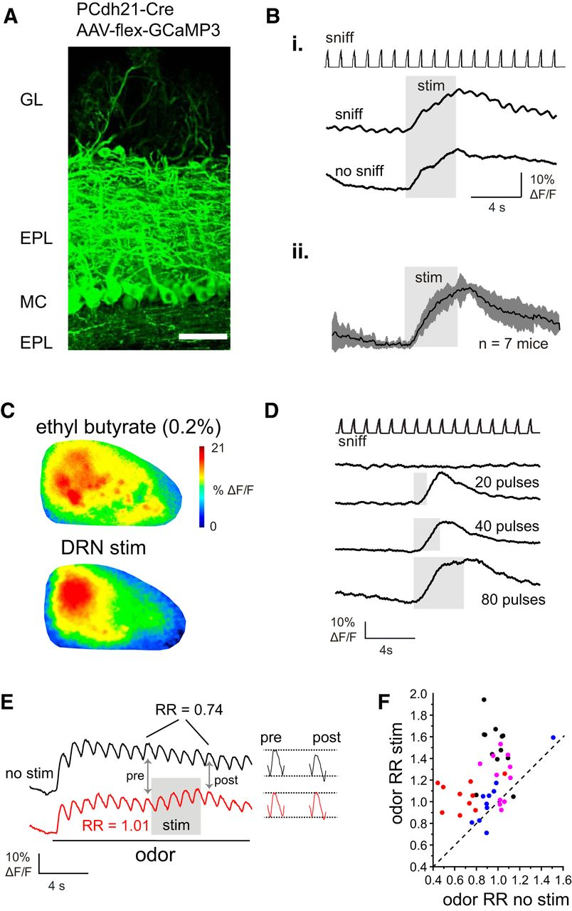Cell-Type-Specific Modulation of Sensory Responses in Olfactory Bulb