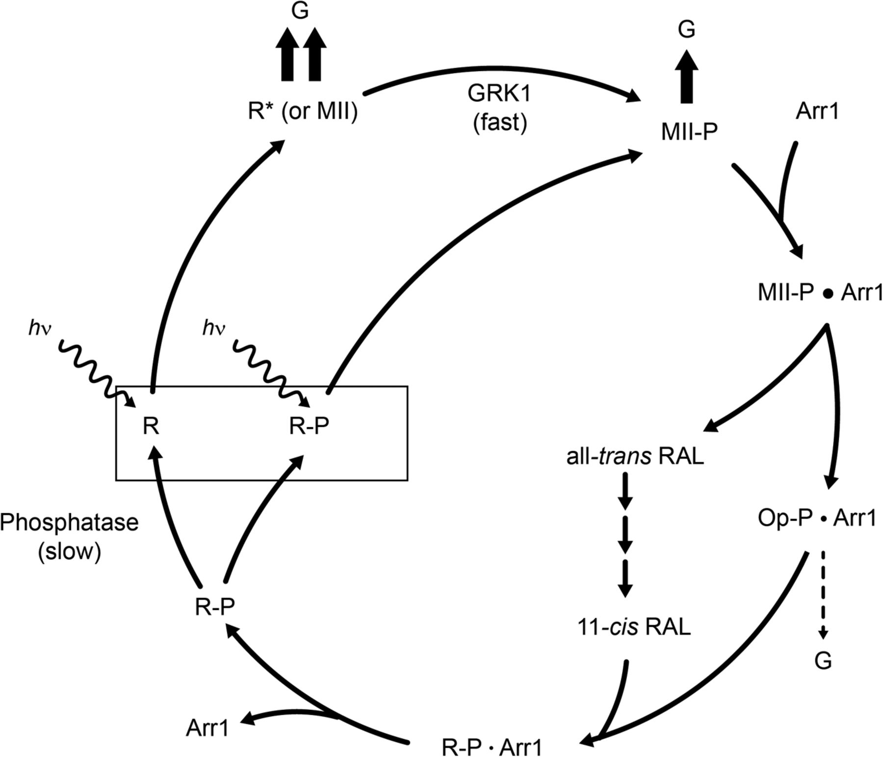Effect of rhodopsin phosphorylation on dark adaptation in mouse download figure pooptronica