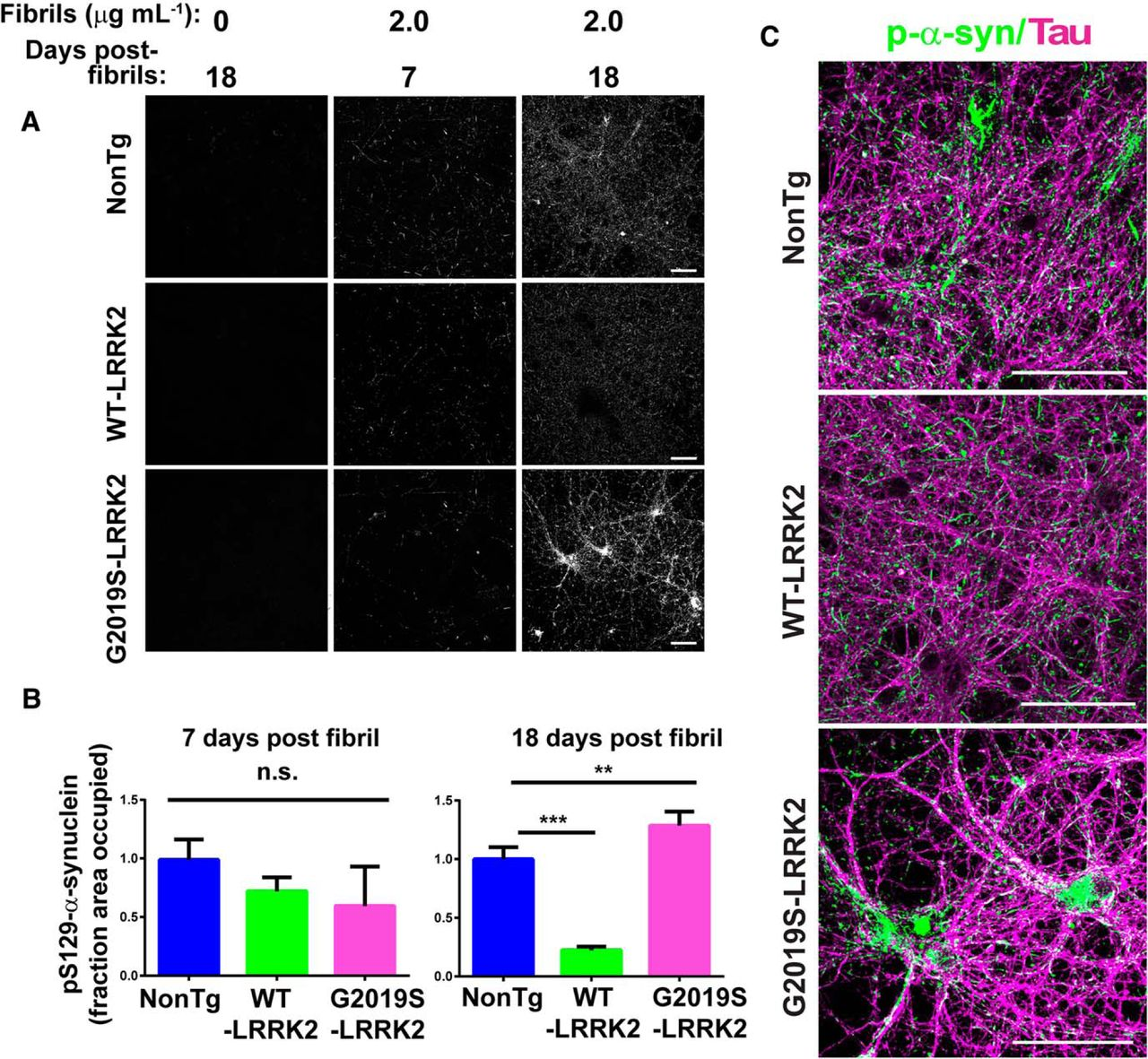 G2019S-LRRK2 Expression Augments α-Synuclein Sequestration into ...