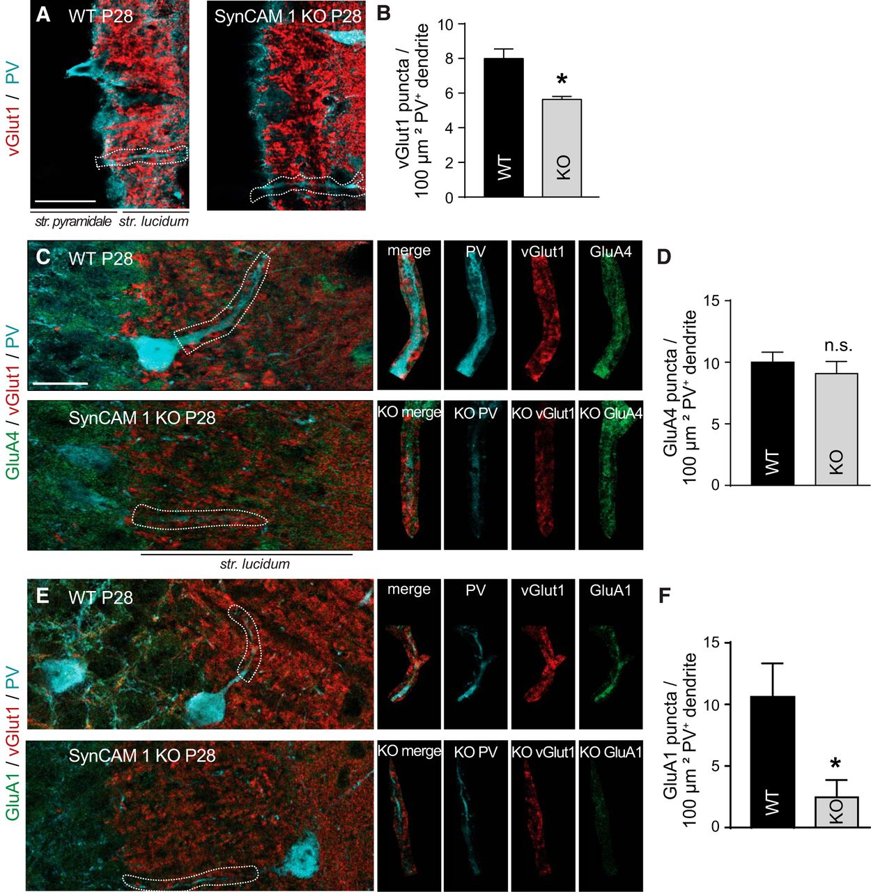 Excitatory Synaptic Drive and Feedforward Inhibition in the