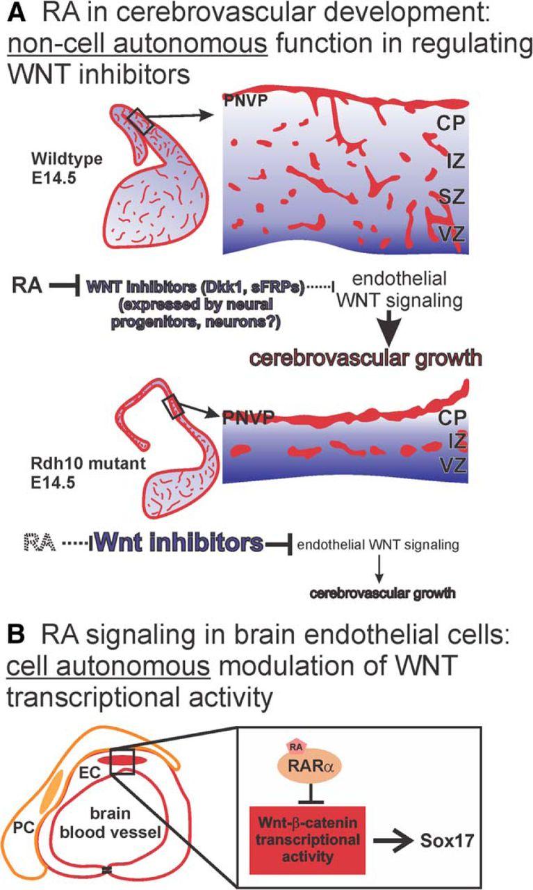 Diverse Functions of Retinoic Acid in Brain Vascular